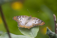 Butterfly 2017-167 (michaelramsdell1967) Tags: beauty nature macro animals bokeh beautiful brown closeup leaf orange plant butterfly animal pretty white colors green insect vivid garden insects wings zen detail vibrant bug butterflies bugs upclose