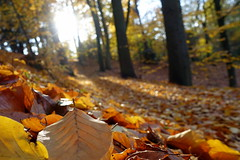 Low perspective (brittajohansson) Tags: wood forest leaves leaf forestfloor autumn autumncolours colors beeches beechtree