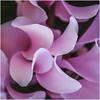 Garden Nov 2017 04 (henharr1er) Tags: 2017 conservatory d7100 garden gardenproject2017 nikon18200mm november panorama rose roses winter