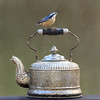 Tea Time (dshoning) Tags: odc unconventional bird pot redbreastednuthatch autumn texture