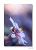 Un écrin de douceur ... (jeremie.brion) Tags: coccinelle ladybug nature proxy macro fleur
