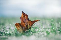 The Coolness of Autumn (Nicholas Erwin) Tags: autumn grass frost snow ice leaf maple cold winter contrast nature naturephotography outdoors nikon d610 nikkor 70200f4vr waterbury vermont vt unitedstatesofamerica usa america bokeh depthoffield dof fav10 fav25 fav50