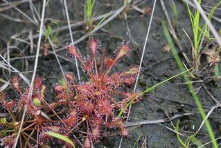 Spathulate-Leaved Sundew (Drosera intermedia)