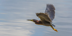 Longways (Explored 12/4/17) (opheliosnaps) Tags: green heron butorides virescens louisiana new orleans bayou water light usa june 2017 nature wild outdoors outdoor outside ripples summer stop action blue flight bif explore
