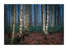 Birches (jos.pannekoek) Tags: forest berk landscape d500 landschap winter frosty mist foggy