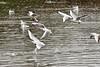 Snowy take off (Geoff Henson) Tags: outside gulls water lake birds snow cold splash winter