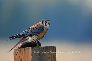 Kestrel Lunch