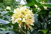 Hemercallis middendorffii  -- a lily in flower 0862 (Tangled Bank) Tags: sarahpdukegardens durhamnorthcarolinaplantflorabotanybotanicalgardenplants
