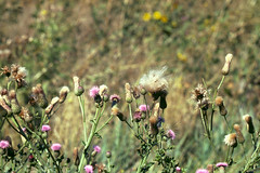 Weeds33.tif (NRCS Montana) Tags: weeds noxious thistle canadathistle