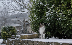 Welcome Snow ❄ (Xena*best friend*) Tags: georgeclooney gc laurusnobilis stones winter cats whiskers feline katzen gatto gato chats furry fur pussycat feral tiger pets kittens kitty piedmontitaly piemonte canoneos760d italy wood woods wildanimals wild paws animals calico markings ©allrightsreserved purr digitalrebelt6s efs18135mm flickr outdoor animal pet snow cold