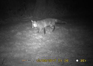 West Quantoxhead - Fox in the Garden 3rd December 2017