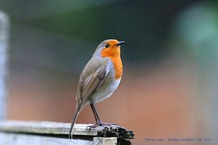 The Christmas Robin..... (law_keven) Tags: robin catford london england gardenbirds robinredbreast garden avian wildlife photography wildlifephotogrpahy