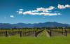 Sauvignon blanc (Kadu Flyer) Tags: sauvignonblanc grapes mountains newzealand sonyrx100m4 vinyard terroir