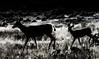 Morning light in black and white (Pejasar) Tags: muledeer doe fawn morning light mammals silhouette mother follow sunrise grass cautious ears listening alert badlandsnationapark southdakota digitalcreations painterly