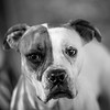 Tiana03Dec201728-Edit.jpg (fredstrobel) Tags: dogs pawsatanta phototype atlanta blackandwhite usa animals ga pets places pawsdogs decatur georgia unitedstates us