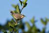 DSC_6706 (Kjell Arild Dokka) Tags: spurvefugler solfugler purpursolfugl cinnyris asiaticus iran bandarabbas