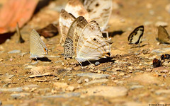 Marbled Map (Cyrestis cocles) (Steve Arena) Tags: bug bugs butterfly butterflies httpthailandbirding2017blogspotcom thailandbirding2017 thailandhttpthailandbirding2017blogspotcom2017 nikon d750 2017 kaengkrachan kaengkrachannationalpark tenasserimmountainrange huaimaepriang phetchaburi petchaburi cyrestiscocles marbledmap