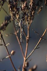 Ninfa de Empusa pennata (esta_ahi) Tags: canràfolsdelscaus empusapennata empusa pennata empusidae mantodea insectos fauna olèrdola penedès barcelona spain españa испания