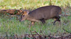 Muntjac (image 1 of 2) (Full Moon Images) Tags: rspb sandy lodge thelodge wildlife nature reserve bedfordshire animal mammal muntjac deer