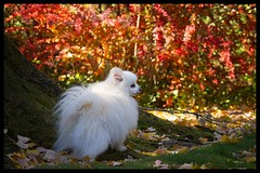 Molly watches over her garden (mariannedeselle (slowly catching up)) Tags: pomeranian pom spitz molly littledog cutedog