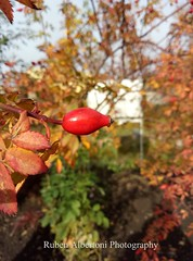 Autumn (rubenalbertoni) Tags: flower rosehip red fruit autumn