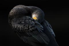 Cormorant (Daniel Trim) Tags: great cormorant phalacrocorax carbo hyde park london urban wildlife nature city capital