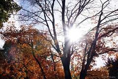 Autumn Sunshine (Anne Ahearne) Tags: maple tree leaves nature sunlight autumn fall colors sunburst