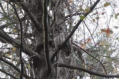 Barred Owl (Strix varia) (Frank Mantlik) Tags: barredowl strixvaria