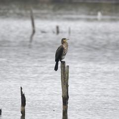 grand Cormoran (xav.vergon) Tags: automne chantalbouteiller leteich oiseaux pointaf reserveornithologique réglageaf12 sortieornitho xaviervergon