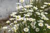 P1020886 - Dog daisies on the edge of the lake (jangurney) Tags: fz300 dog daisies lake