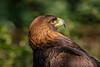 GOLDEN EAGLE (Sandy Hill :-)) Tags: eagle goldeneagles eagleportrait feathers preybird sunny talons alert nature wildlife sandyhillphotography