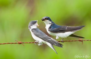 andorinha-de-sobre-branco (Tachycineta leucorrhoa) - White-rumped Swallow