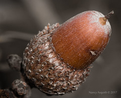 Acorn in sepia-tone (Nancy Asquith) Tags: macromondays stonerhymingzone