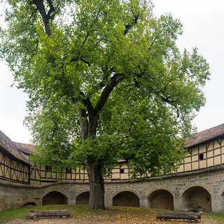 tree and city fortification, Rothenburg
