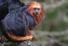 2017-11-03-Apenheul-0250.jpg (BZD1) Tags: natuur monkey primates leontopithecuschrysomelas nature aap goldenheadedliontamarin apenheul goudkopleeuwaapje mammal animal apeldoorn