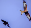 The chase 4 (Paul Wrights Reserved) Tags: raven redkite bird birding birds birdphotography birdinflight birdwatching birdofprey wings spread flying flight inflight fighting fight chase sky