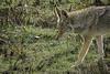 Did I Hear Something? (lennycarl08) Tags: animalplanet animals animal wildlife nature coyote pointreyes pointreyesnationalseashore northerncalifornia marincounty sony rx10m4