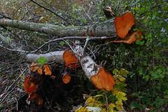 De herfst van kleuren (Roel Wijnants) Tags: ccbync roelwijnants roelwijnantsfotografie roel1943 herfst bomen kleuren omzagen bomenkap onderhoud bos groen boomsoort els verkleuring