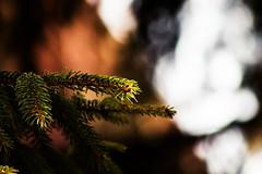 Pine (xXALEXKOVACS11Xx) Tags: pine tree pinetree hungary eos1300d 1300d canon 75300mm photography lights sun blur