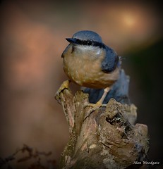 Nuthatch - Stockgrove - Bedfordshire (Alan Woodgate) Tags: