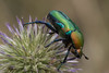 Rose-chafer (Protaetia cuprea ignicollis) (RonW's Nature Photography (thanks for over 1 milli) Tags: rosechafer protaetiacupreaignicollis protaetiacuprea protaetia cuprea ignicollis scarab beetle coleoptera scarabeidae insect nature wildlife israel asia macro canon 100mm