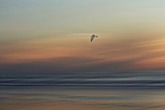 Beautiful Mysterious Wild and Free (Christina's World Off and On) Tags: seascape bird flying nature icm intentionalcameramovement sand seagull goldenhour dusk waves sandiego california unitedstates torreypinesbeach water scenic coth5