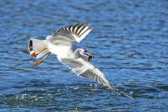 Schon wieder fressen - Gull (Susanne Weber) Tags: möwe möwen gull gulls tier natur see wasser