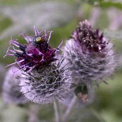 Purple thistle (cerna0m) Tags: thistle kingdom canary islands scotland alexander iii remedy blessed milk oyster scottish egypt syria herbivore corner sharp spark spike prickles character uk sign science field 2017 summer ribbon pink blurry insecticide insect fly flower plant green purple background blossom natural macro closeup violet flora beautiful bloom bee garden beauty floral meadow spring leaf nature