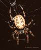 Larinioides cornutus (Robyn Waayers) Tags: larinioidescornutus orbweaver spider robynwaayers