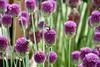Purple lollipops! (suekelly52) Tags: bees bumble bumblebee allium purple