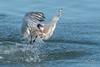 Success (craig goettsch - off and on traveling) Tags: eleganttern avian mosslanding animal wildlife nature fish nikon d500