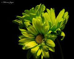 The Lookouts 1029 Copyrighted (Tjerger) Tags: nature beautiful beauty black blackbackground blooming blooms closeup daisies daisy fall flora floral flower flowers green macro plant portrait wisconsin yellow natural
