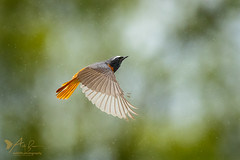 Redstart ♂️ (ABPhotosUK) Tags: animals birds canon chatsandthrushes dartmoor devon ef100400mmisii eos7dmarkii inflight male phoenicurusphoenicurus redstart seasons spring springwatch turdidae wildlife