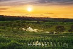 Explosion of colors at dawn in the rice fiels (joana dueñas) Tags: dawn sunrise sun indonesia bali island rice fields summer reflexions reflexes joanadueñas photofeeling